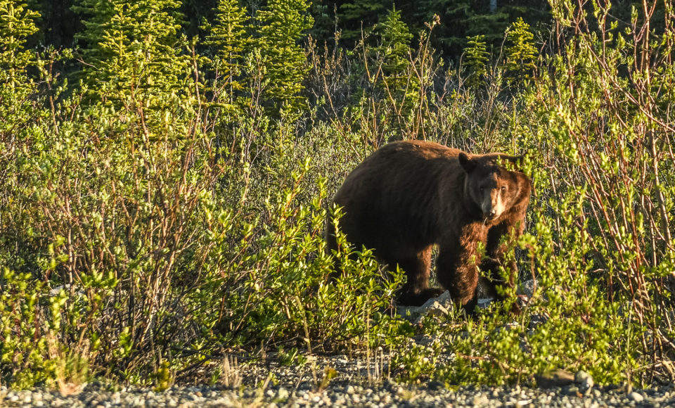 Niedźwiedzim Tropem